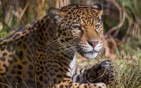 Обои кошка, взгляд, ягуар