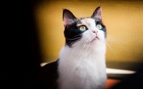 Обои кошка, взгляд, смотрит