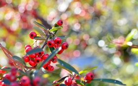 Обои листья, ягоды, макро, дерево
