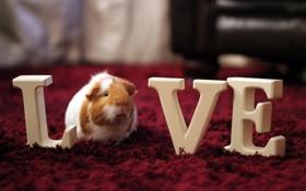 Картинка love, pet, guineapig