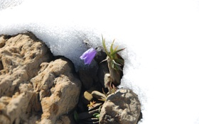 Обои цветок, снег, природа, Flower in Snow