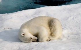 Обои природа, снег, медведь