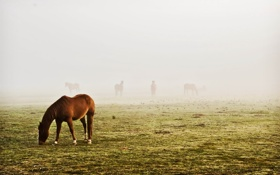 Обои поле, туман, кони, красота