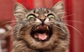Обои кошка, фон, крик