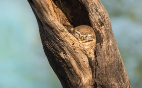 Картинка фон, дерево, сова, спит, дупло