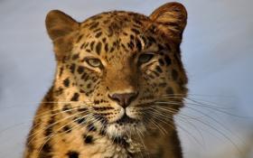 Обои морда, портрет, дикая кошка, амурский леопард