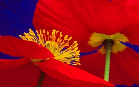 Обои цветок, лепестки, мак, стебель, тычинки