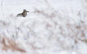 Обои снег, куст, волк, долина, зевает, photographer, Kenji Yamamura