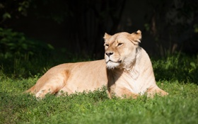 Обои кошка, трава, отдых, львица