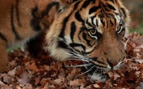 Картинка кошка, взгляд, морда, листья, тигр, суматранский