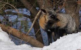 Картинка снег, лиса, Животное