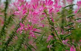 Картинка поле, капли, цветы, роса, растение, луг