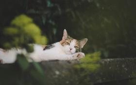 Картинка кошка, кот, усы, шерсть, лежит, смотрит