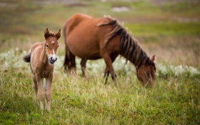 Картинка трава, малыш, лошади, семья, пастбище, пара, мама