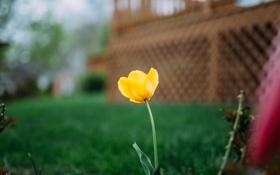 Обои цветок, желтый, лепестки, тюльпан
