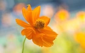 Картинка цветок, лето, желтый, природа, космея