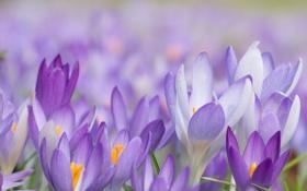 Обои макро, цветы, весна, крокусы, первыцветы