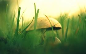 Картинка зелень, трава, природа, гриб, размытость