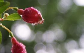 Картинка капли, бутоны, фуксия, вода, макро, цветы