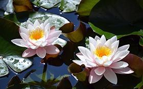 Картинка листья, водяные лилии, озеро, цветы