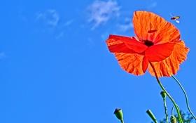 Обои цветок, небо, облака, мак, насекомое