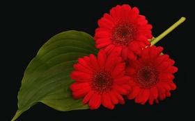 Обои листок, лепестки, красные, трио, гербера, чёрный фон