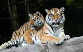 Обои язык, кошка, тигр, камень, пара, амурский