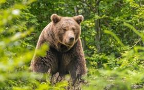 Обои лес, лето, морда, заросли, бурый медведь