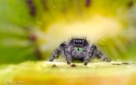 Обои макро, паук, киви, насекомое, фрукты, сидит, кроха