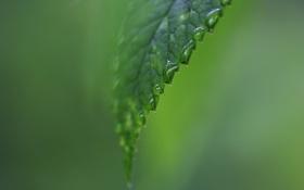 Обои капли, макро, лист, зеленый, роса
