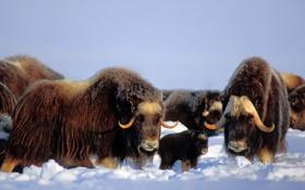 Обои зима, снег, гора, Аляска, мех, США, овцебык