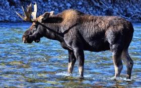 Обои природа, река, рога, лось