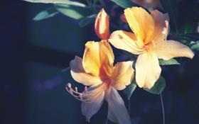Обои цветы, лилии, лепестки
