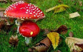 Картинка природа, грибочки, осень, мухоморы, листва