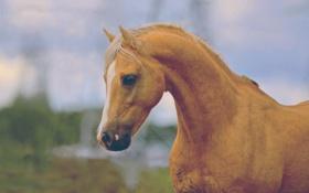 Обои рыжий, лошадь, лето
