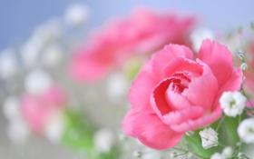 Обои роза, розовая, гипсофила, цветы