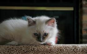 Картинка кошка, белый, котенок, пушистый, лежит