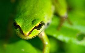 Картинка макро, полосы, лягушка, голова, зеленая