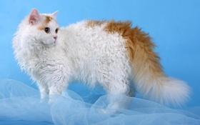 Обои кот, Кошка, селкирк-рекс