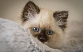 Обои взгляд, мордочка, котёнок, голубые глаза