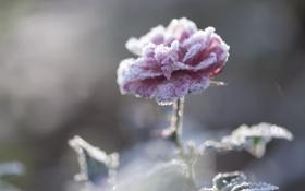 Картинка роза, цветок, снег, лепестки, иней