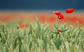 Обои красные, поле, колски, маки