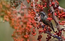 Картинка природа, ягоды, дерево, птица