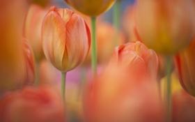 Обои цветы, природа, весна, тюльпаны, оранжевые