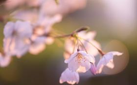 Обои свет, цветы, вишня, ветка, вечер, розовые, солнца