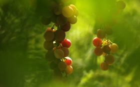 Обои фон, виноград, макро
