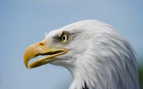 Картинка природа, птица, орёл