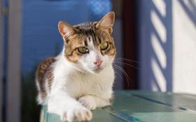 Обои глаза, кот, взгляд, лапа