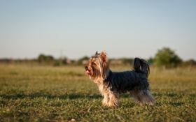 Обои фон, поле, собака