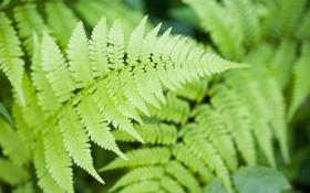 Обои листья, папоротник, макро